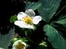 Kwitnące truskawki  Autor Ewa Oleńkiewicz