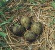 Jedna para kulików upodobała sobie pole pod Kłopotem, gdzie w oziminie założyła gniazdo.